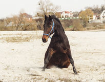 Brown horse  on white sand on a background of pale gray sky Royalty Free Stock Photography