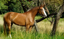 Brown horse with a white spot on his head standing Stock Images