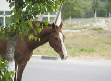 Brown horse with a white spot on his head is standing Royalty Free Stock Images