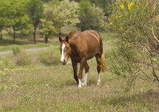 Brown horse with a white spot on his head is walking Royalty Free Stock Images