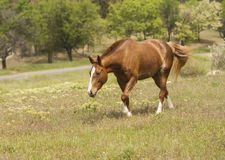 Brown horse with a white spot on his head is walking Stock Photo