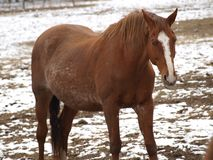 Brown horse on winter pasture. South Bohemia royalty free stock photo
