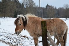 Brown horse on winter pasture Royalty Free Stock Photo