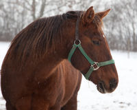 Brown horse in winter Stock Image