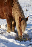 Brown horse in wintertime Royalty Free Stock Photography