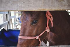 Brown horse in wooden stable, animal farm. stock images