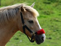 Brown horse wtih red halter Royalty Free Stock Image