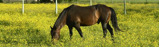 Brown Horse Yellow Flowers Royalty Free Stock Photos