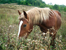 Brown horse with yellow mane Royalty Free Stock Images