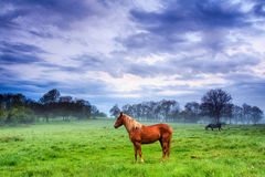 Brown horse with a yellow ruff Royalty Free Stock Images