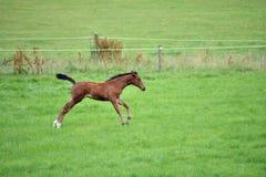 A Brown Horse Royalty Free Stock Photos