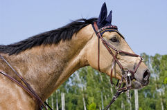 Brown horse0 Stock Image