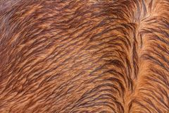 Brown horsehair Royalty Free Stock Photography