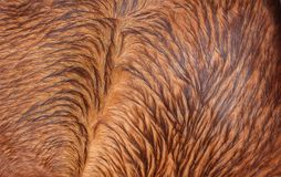 Brown horsehair Royalty Free Stock Photos