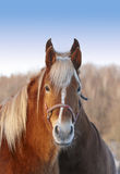 Brown horses Royalty Free Stock Photos