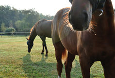 Brown horses royalty free stock photo