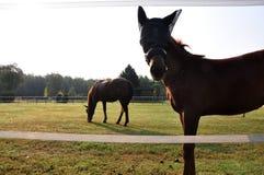 Brown horses Stock Image
