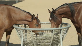 Brown horses in the corral stock video