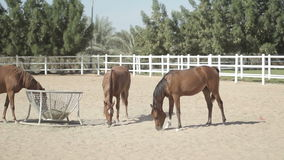 Brown horses in the corral stock video footage