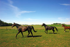 Brown horses in countryside Royalty Free Stock Photo