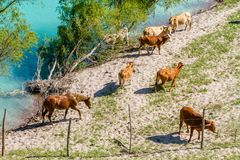 Horses and cows at the river. Brown Horses and cows walking at the river Stock Photo
