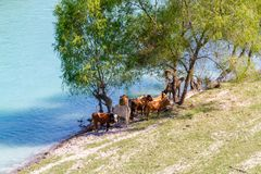 Horses and cows at the river. Brown Horses and cows walking at the river Stock Image