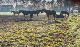 Brown horses at dawn Royalty Free Stock Images