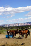 Brown horses on a desert ranch Royalty Free Stock Image