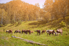 Brown horses eat grass on a summer day. A herd of beautiful brown horses and a few foals goose on a green meadow and eat grass on a summer day in the mountains Stock Photography