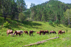 Brown horses eat grass on a summer day Royalty Free Stock Photo