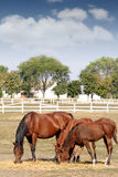 Brown horses eat hay Stock Image