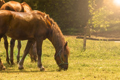 Brown Horses Stock Photo