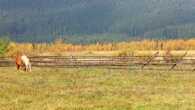 Brown horses eating grass near the fence with crow stock video