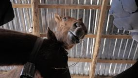 Horses eat hay. Brown horses eating hay company stock video footage
