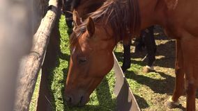 Brown horses eating hay in a farmyard stock video footage