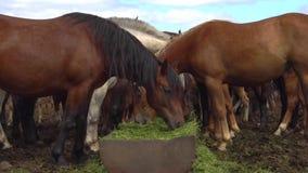 Brown horses eating hay in a farmyard stock video