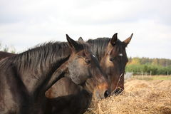 Brown horses eating yellow hay Royalty Free Stock Photo