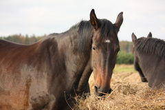 Brown horses eating yellow hay Stock Photography