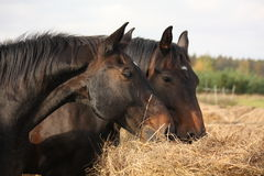 Brown horses eating yellow hay Stock Photos