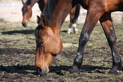 Brown horses eating young grass. At the pasture in spring Royalty Free Stock Photography