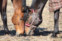 Brown horses eating young grass. At the pasture in spring Stock Image