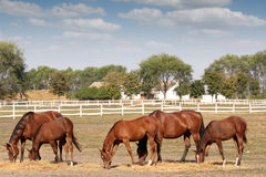 Brown horses farm scene Royalty Free Stock Photos