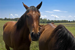 Brown horses in field Stock Photo
