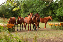 Brown horses in a field. In Normandie in France Stock Photo