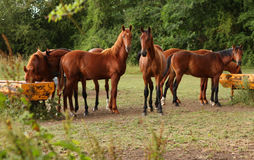 Brown horses in a field Royalty Free Stock Photography