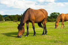 Brown horses. On field with sky Royalty Free Stock Image