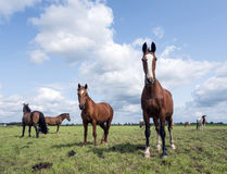 Brown horses graze in green grassy meadow in the netherlands Royalty Free Stock Photos