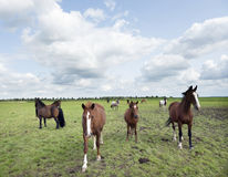 Brown horses graze in green grassy meadow in the netherlands Royalty Free Stock Photography