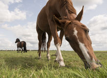 Brown horses graze in green grassy meadow in the netherlands Royalty Free Stock Photo