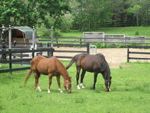 Brown horses grazing in a fenced pasture Royalty Free Stock Photos